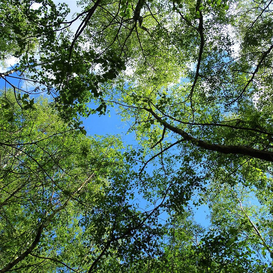 Birch tree canopy.JPG