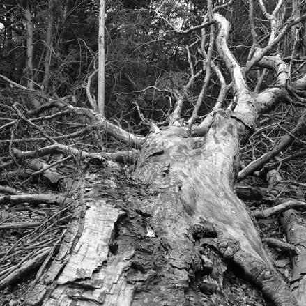 fallen beech branch.JPG