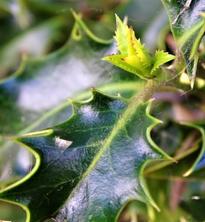 holly leaf emerging.JPG