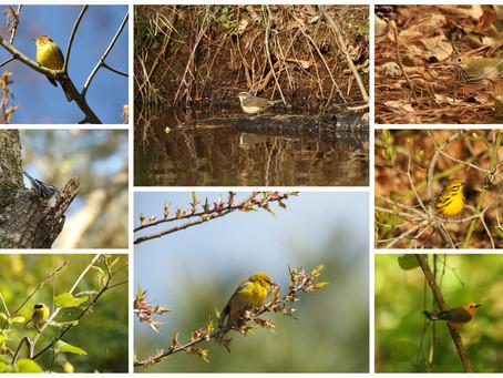 Delaware's Warblers: A Spring Tweet
