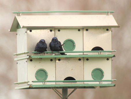 Purple Martins January 12, 2020