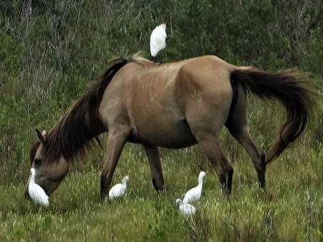 Chincoteague NWR: Shorebirds & More  Aug. 31, 2021