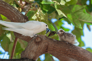 Hawaii's White Tern: An Urban Seabird