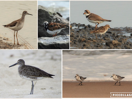 Helpful Hints for Shorebird Identification