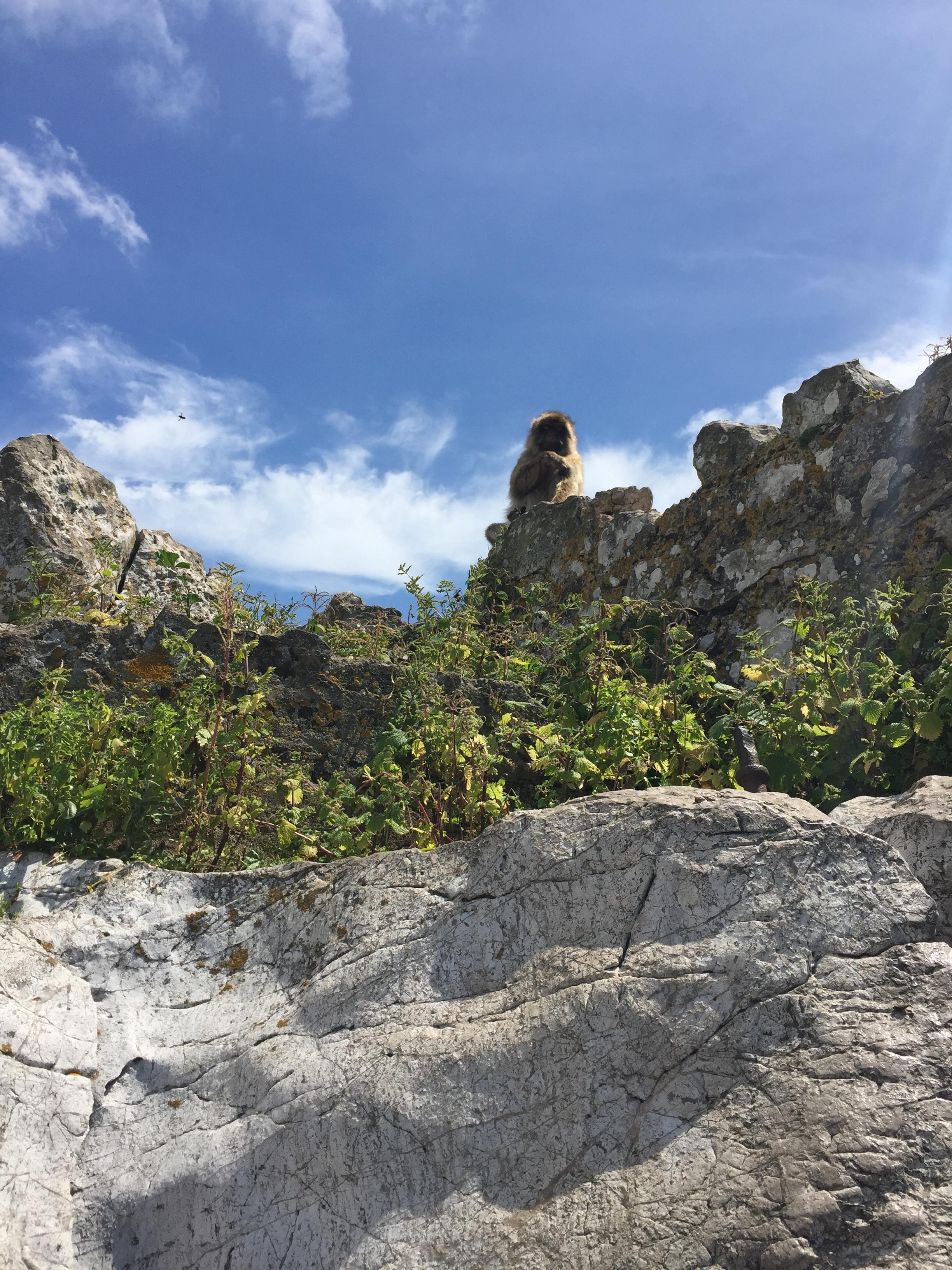 Бесхвостые макаки Гибралтара