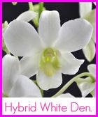 hybrid-white-den-n-r.jpg