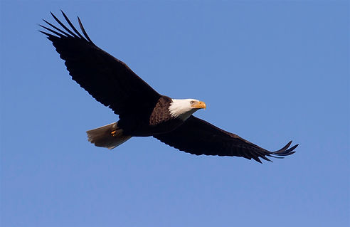 goldeneagle-pictures-free.jpg