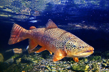 fish-browntrout.jpg