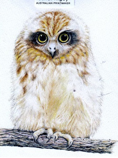 Southern Boobook Owl Chick