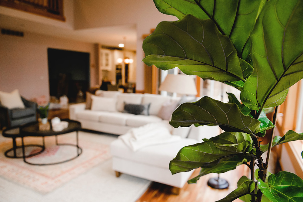 A close-up of the fiddle leaf fig from Peace and Toil.