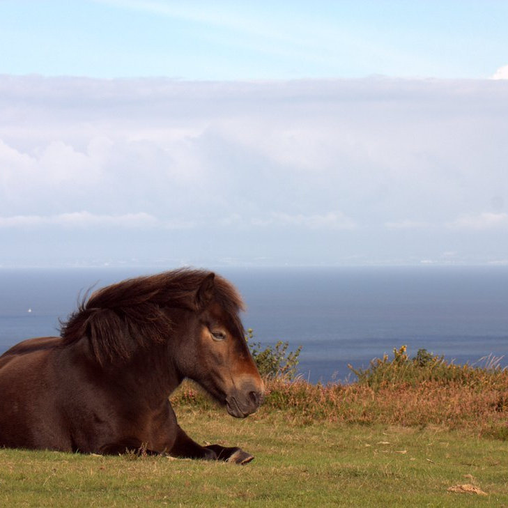 113-jochen-langbein-exmoor-pony-resting-