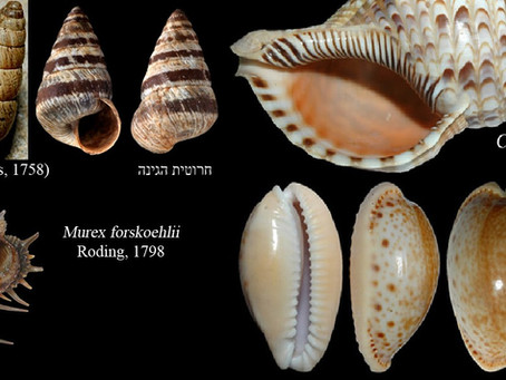 Diversity of native molluscs collapses along the Israel coastline