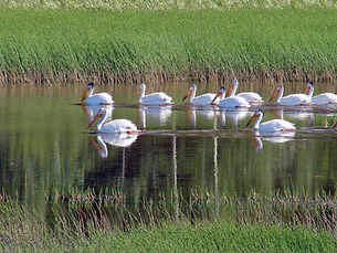 Pelicans in marsh.jpg