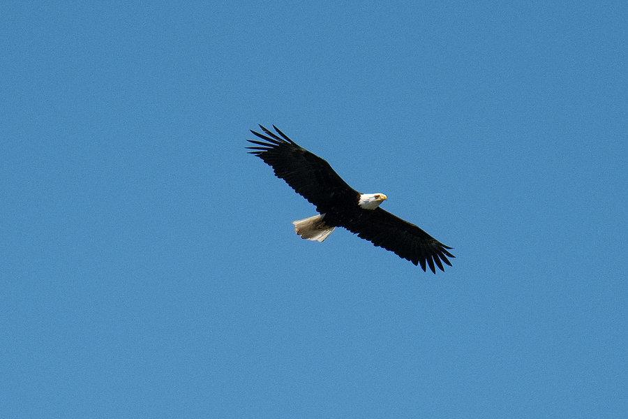 Steve Habes  Eagle DSC1467.jpg