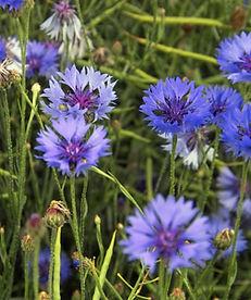 Cornflowers_(Centaurea_cyanus),_New_Holl