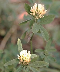 Trifolium_alexandrinum_eF.jpg