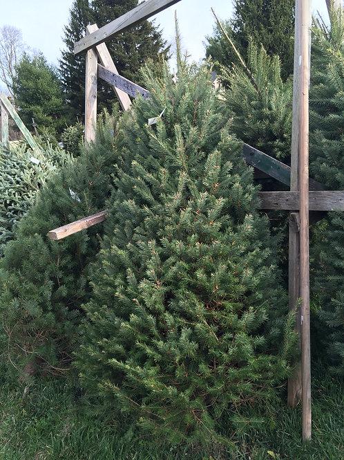Fresh Cut Douglas Christmas Tree 6-7' Premium/#1