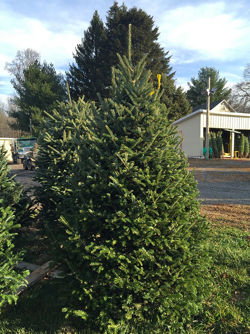 Fresh Cut Fraser Christmas Tree 6-8' Standard/#2
