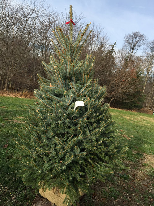 Balled Blue Spruce Tree 4-6'#2