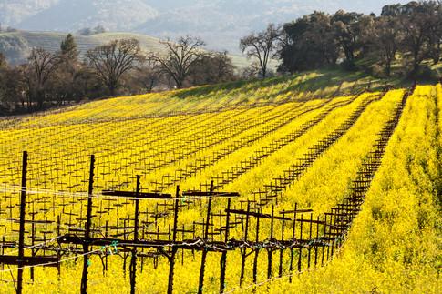 0602_Mustard_032California Spring 14.jpg