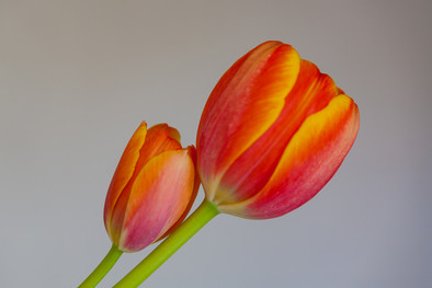 Tulips 8.jpg