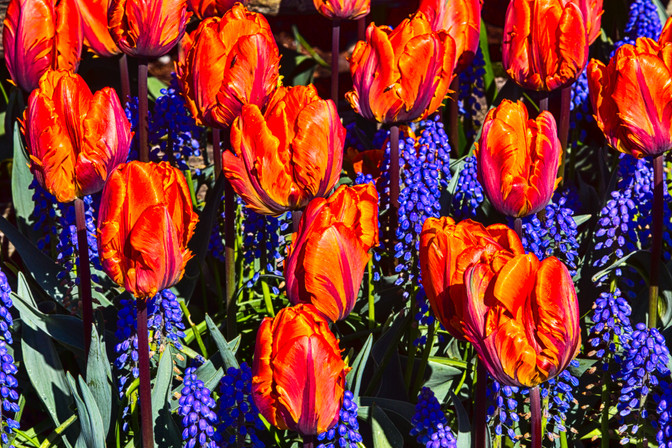 Tulips 12.jpg