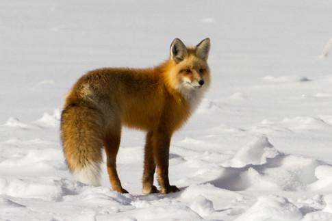 Wild Animals in Winter24.jpg