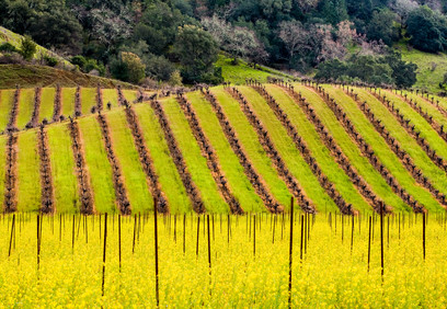Silverado_trail_Mustard_&_Vines_P_(not_sharp)California Spring 19.jpg