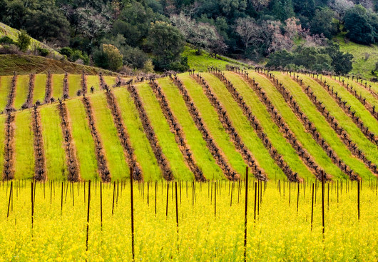 Silverado_trail_Mustard_&_Vines_P_(not_sharp)California Spring 19.jpg