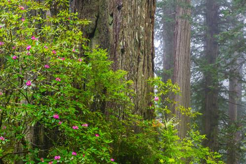 California Redwoods 2.jpg