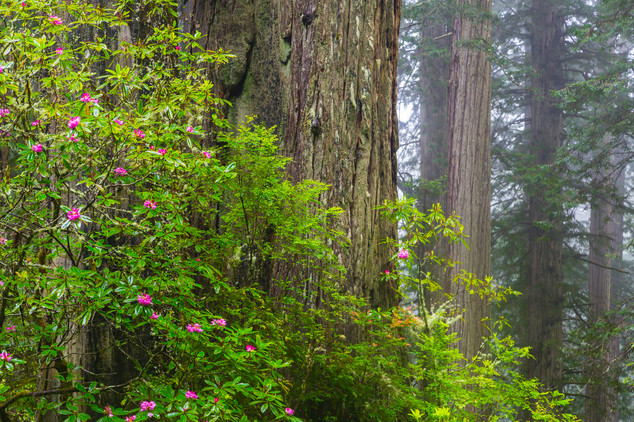 California Redwoods 2.jpg