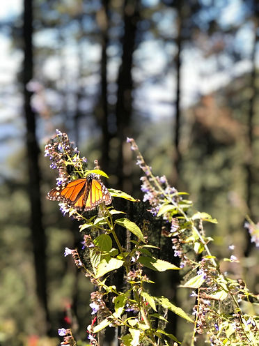 monarch-butterflies-michoacan.jpg
