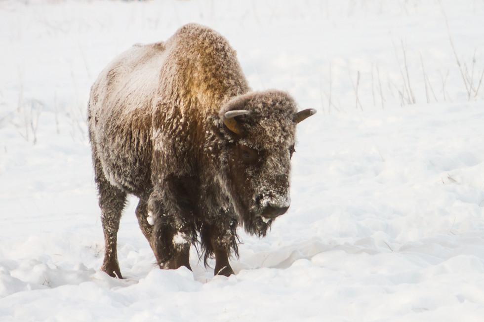 Wild Animals in Winter1.jpg