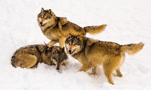 Wild Animals in Winter8.jpg