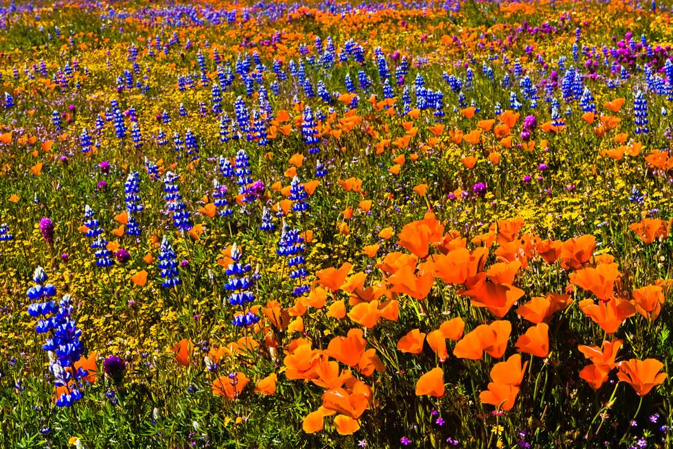California_Spring_P_(not_sharpened)California Spring 8.jpg