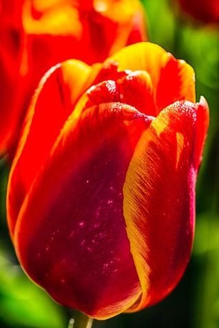 Tulips 11.jpg