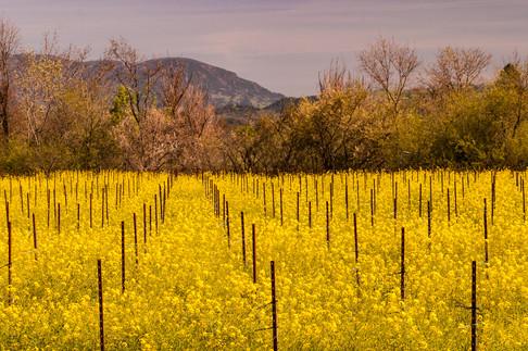 0503_Mustard_042California Spring 23.jpg