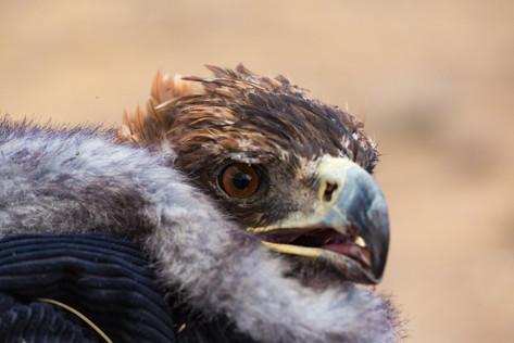 Mongolia Golden Eagle.jpg