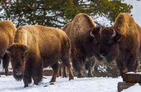 Wild Animals in Winter4.jpg
