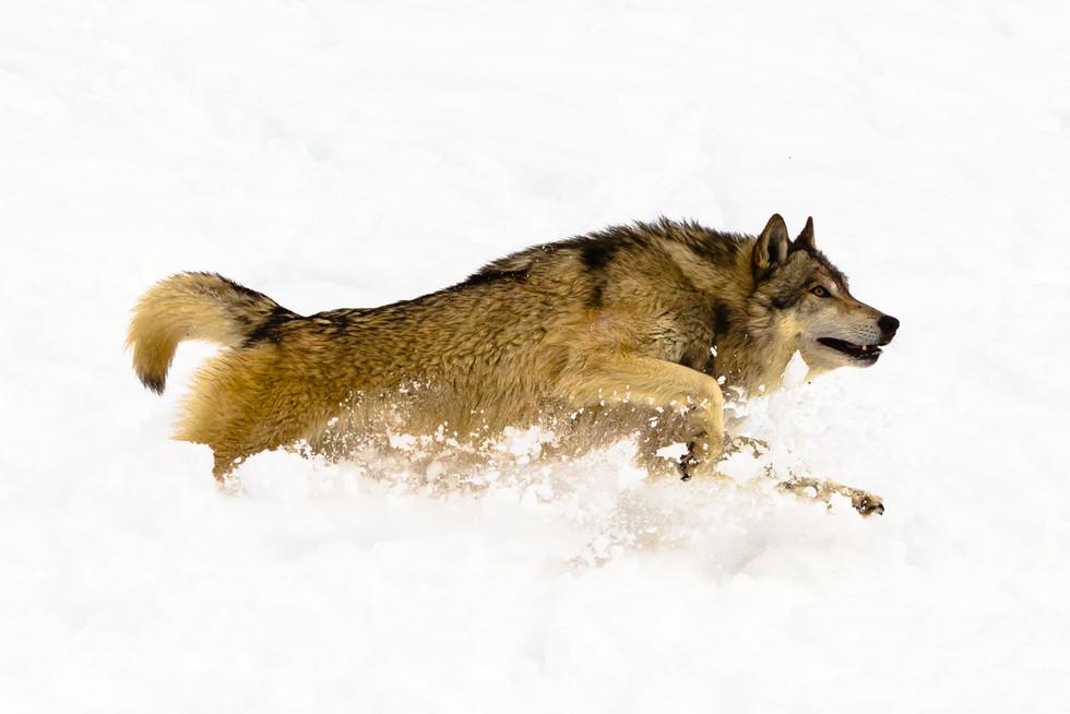 Wild Animals in Winter7.jpg