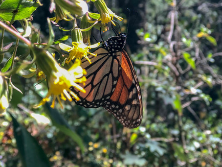 La Luna Voyages: The Monarch Butterflies' Journey To Michoacán