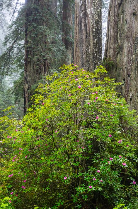 California Redwoods 1.jpg