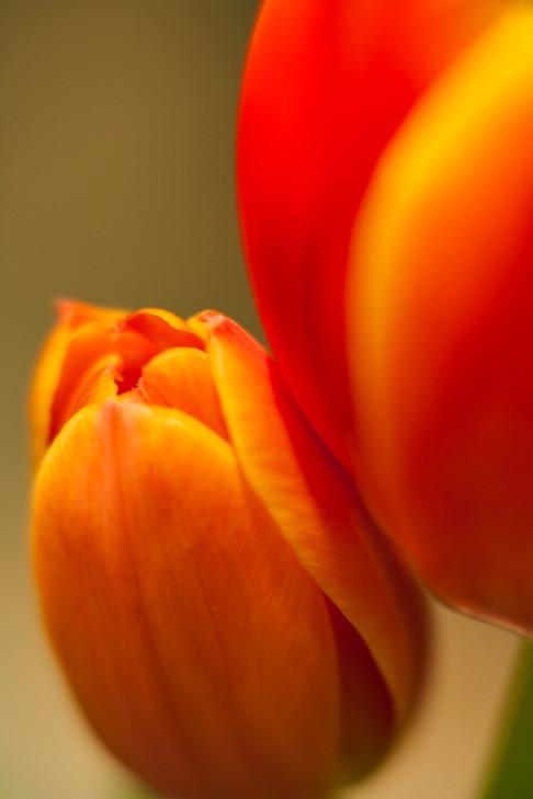 Tulips 7.jpg
