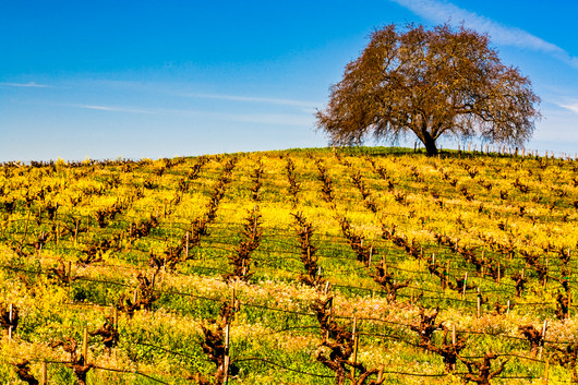 Tree_in_VineyardCalifornia Spring 23.jpg