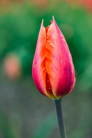 Tulips 13.jpg