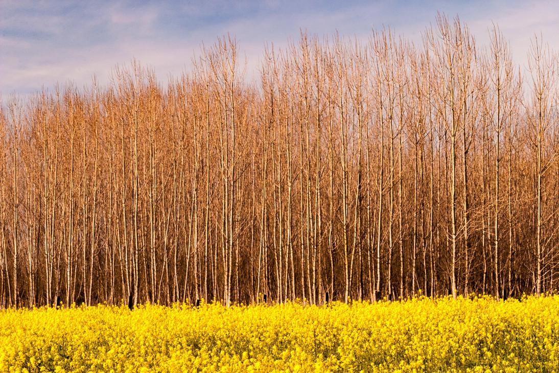 0503_Mustard_078California Spring 16.jpg