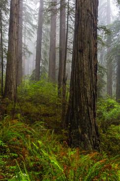 California Redwoods 3.jpg