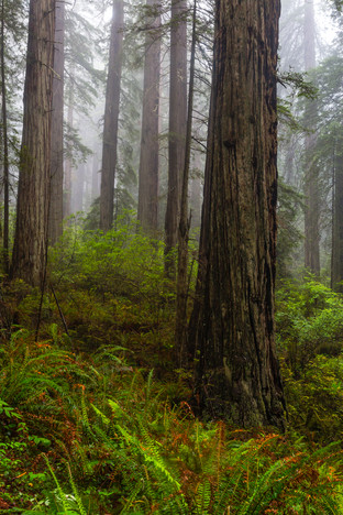 California Redwoods 3.jpg