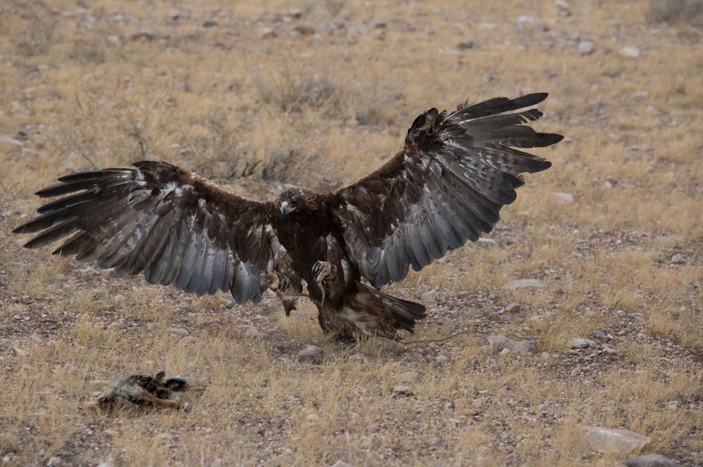 Mongolia Golden Eagle 2 .jpg