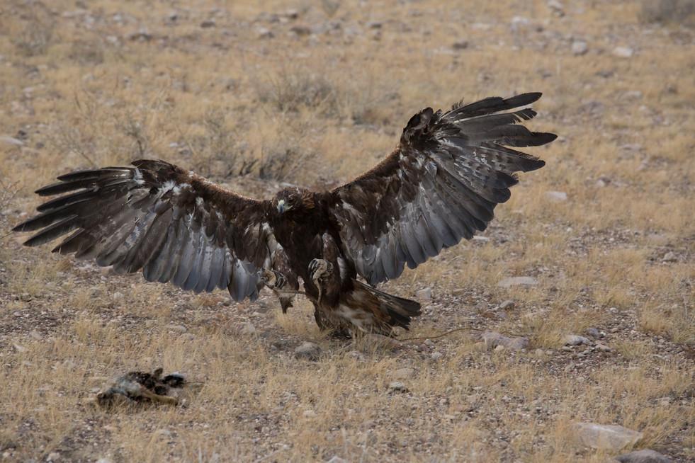 Mongolia Golden Eagle 2 .jpg